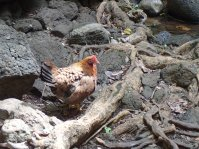 Uluwehi Falls chicken