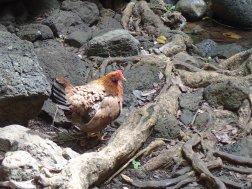 Uluwehi Falls chicken